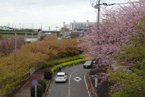 ถนนสายซากุระ