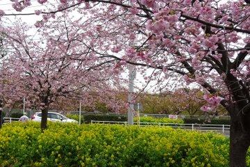 เทศกาลดอกซากุระที่ Miura-kaigan