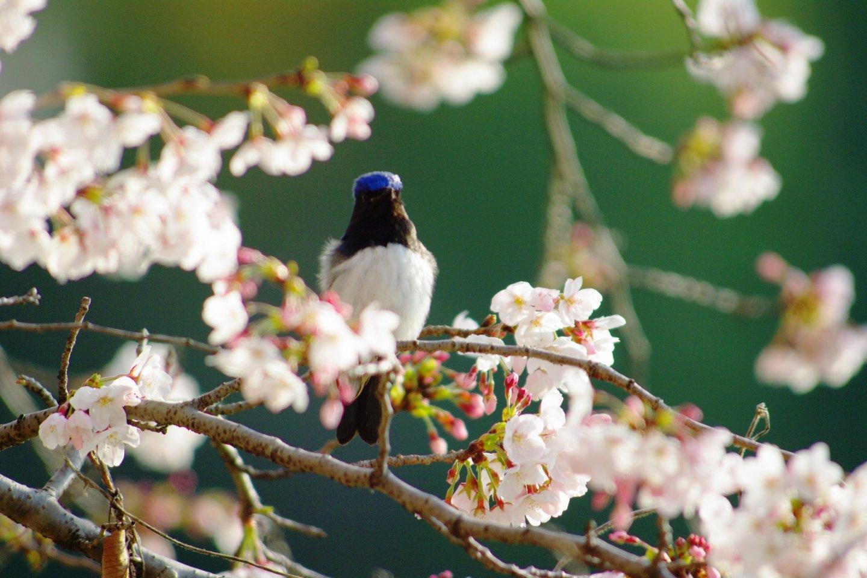 Chú chim đớp ruồi màu xanh và trắng là một vị khách của vườn quốc gia