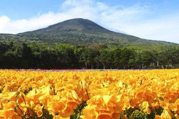 เทศกาลดอกฟรีเซียบนเกาะ Hachijojima