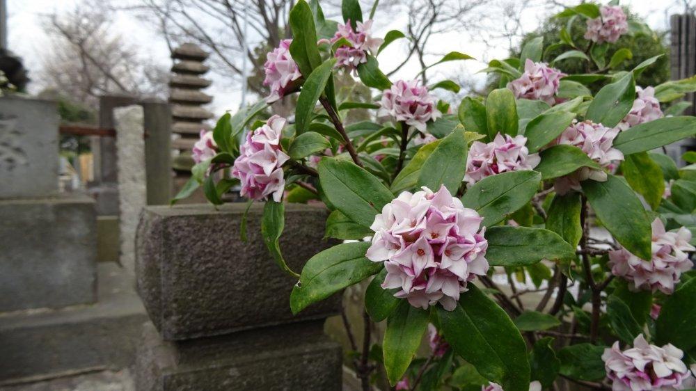 ต้นฤดูใบไม้ผลิ ดอกไม้สีชมพูหวานแต่งแต้มสีสันให้แก่สุสานโบราณ