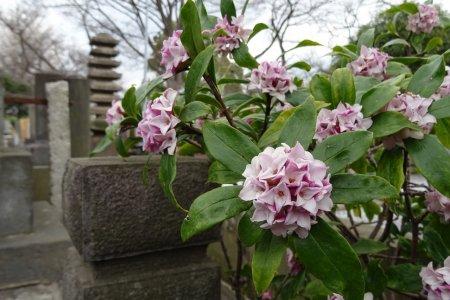 สุสานโบราณที่อิเคะกะมิ ฮอนมอน-จิ