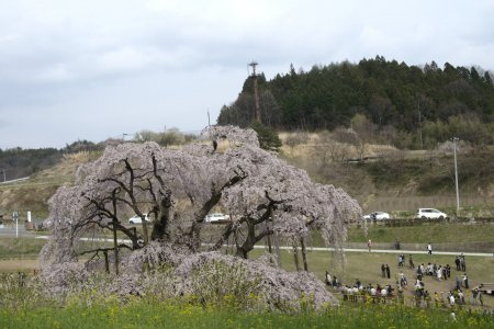 The Great 'Waterfall' Cherry Trees
