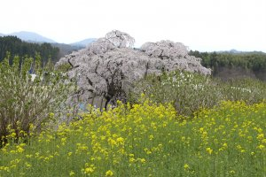 In the foreground are nanohana (rape blossoms)