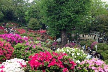 Великолепный фестиваль азалий Бункё