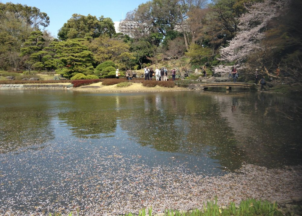 Лепестки сакуры опадают и украшают поверхность пруда