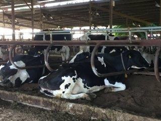 Những chú bò Hà Lan