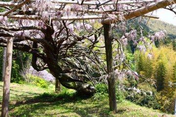 이 정원은 1977 년에 문을 열었다. 이 인상적인 넓이는 이렇게 잘 설정된 등나무가 잡는 데 걸린 시간을 알것같다