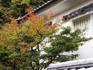 На дворе конец октября, и клёны начинают потихоньку краснеть