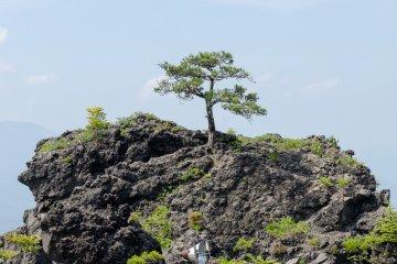 Small tree on magma rock