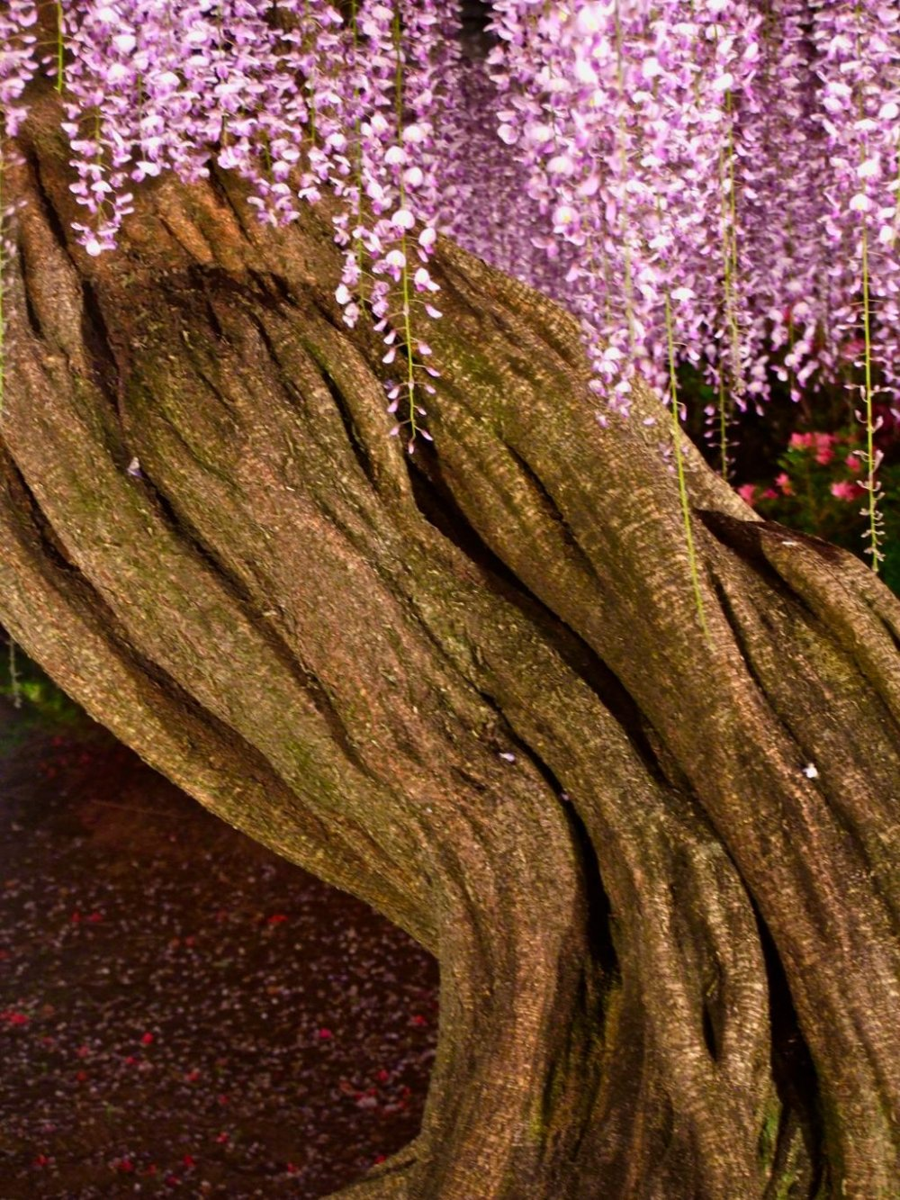 The trunk of this wisteria is beautiful in itself