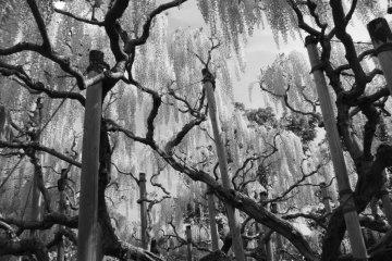 Чудесный цветочный парк Асикага