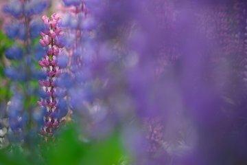Flowers on Bandai Highlands
