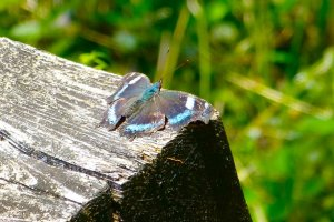 A beautiful butterfly on a bench (Ruri-tateha in Japanese, Blue Admiral in English)