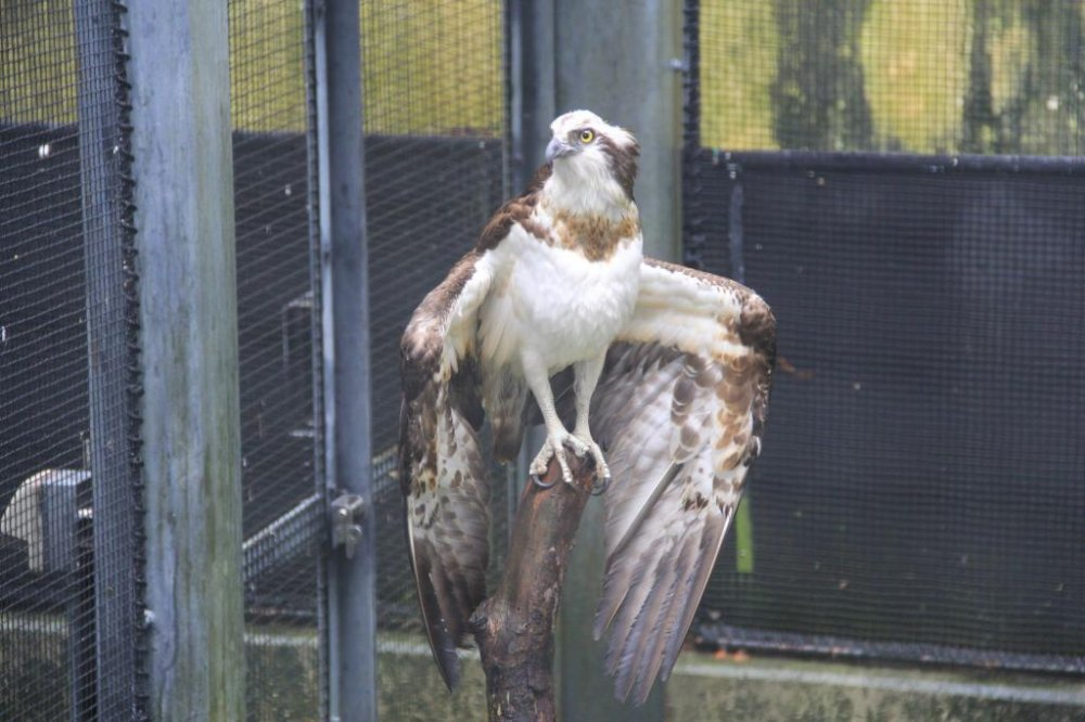 The osprey is one of the first animals seen in Okinawa's Zoo and Museum when following the recommended route