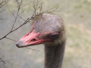 There are several ostriches at the Okinawa Zoo