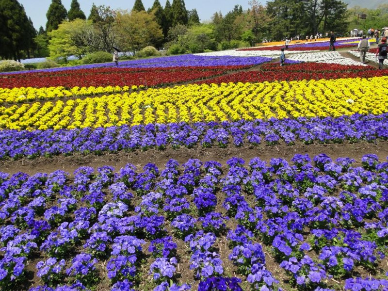 A carpet of flowers at Kuju Hana Koen