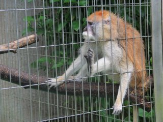 The Patas monkey in an omnivore