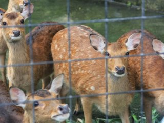 A small herd of Taiwan deer live at the Okinawa Zoo's Nature Land