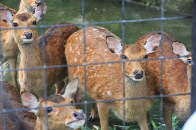 <p>A small herd of Taiwan deer live at the Okinawa Zoo&#39;s Nature Land</p>