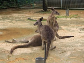 Sân nhảy cho đám Kangaroo
