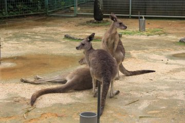<p>A hopping ground for a mob of Kangaroo</p>