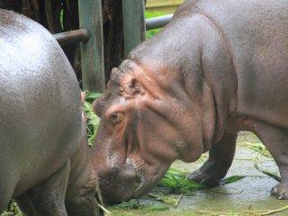 Hai chú hà mã đang ăn  trong khu Natural Land