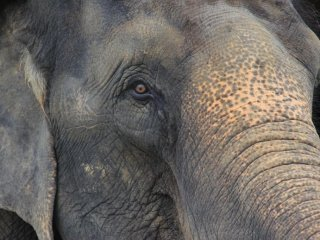 Asian elephants from India are the largest animals at the Okinawa Zoo