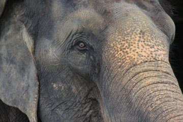 <p>Asian elephants from India are the largest animals at the Okinawa Zoo</p>