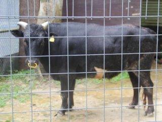 Bò Kutinoshima là một con bò có nguồn gốc từ Nhật Bản