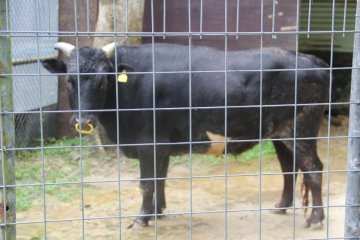 <p>The Kutinoshima cattle is a cow native to Japan</p>