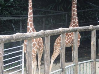 Giraffes are the tallest animals at the Okinawa Zoo and are called kirin in Japanese