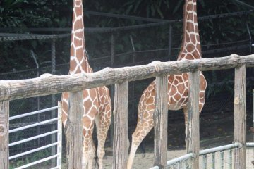 <p>Giraffes are the tallest animals at the Okinawa Zoo and are called kirin in Japanese</p>