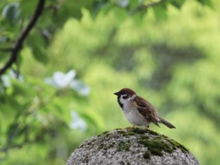The castle is home to many sparrows ...