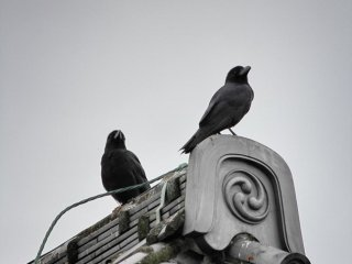 ... and crows