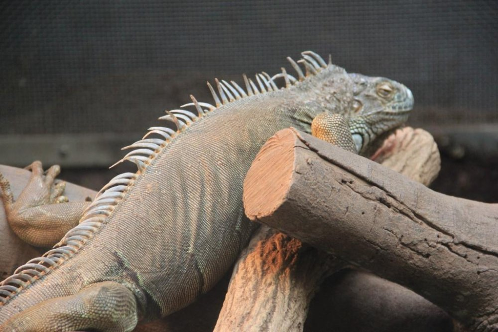The green iguana is a strong and agile climber and swimmer