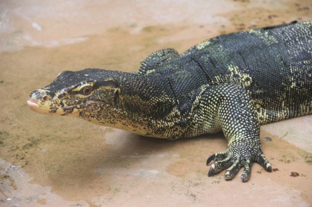 Water Monitors' native range is from the Indian subcontinent to indonesia