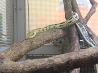 Thân loài rắn Đài Loan gồm các chấm đen trải dài từ chân đến đầu