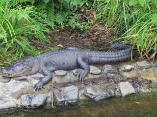 American alligators have a broader nose and smaller teeth than crocodiles