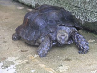 The Asian forest tortoise is the largest tortoise native to Asia
