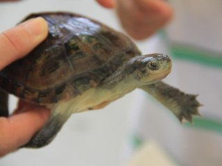 Hold and play with turtles as well as chicks, goats, rabbits and guinea pigs at the Okinawa Zoo's Petting Zoo