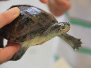 Hãy cầm và chơi với những chú rùa, gà con, dê, thỏ và chuột lang nhà trong Vườn thú cưng của Sở thú Okinawa