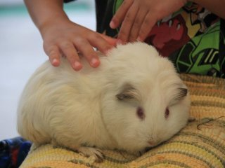 Holding and petting the guinea pigs is free