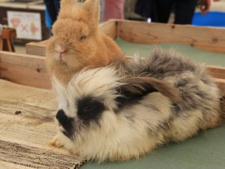 The rabbits at the Petting Zoo are of the fluffy variety