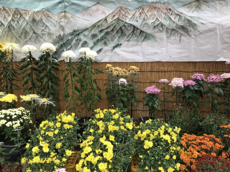 Japan's national flower takes pride of place at this festival in mountainous Niigata