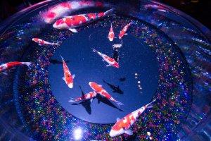 Loài cá cao quý nishikigoi đang bơi lượn trong hồ Floatingrium