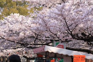 Cherry blossoms on the way to the cafe