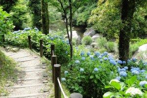 Hydrangea along the hiking trail