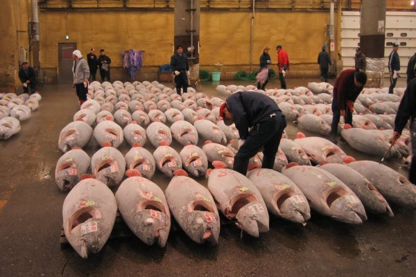 Tsukiji tuna auction about to begin