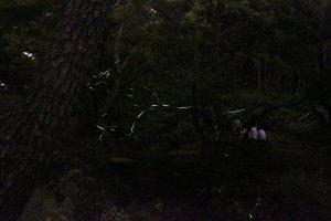 반딧불이를 보는 것은 일본 여름의 가장 좋은것